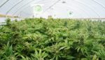 interior of greenhouse with cannabis crop
